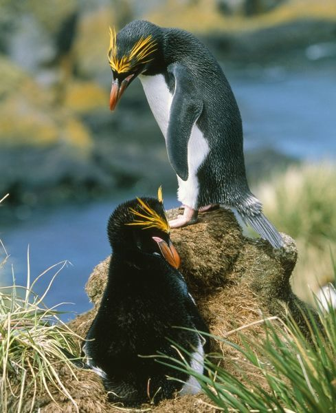 Macaroni Penguin - incubating eggs, early December