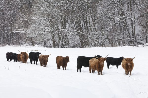 Scottish Highland Cattle and Angus Cattle herd on snow ...