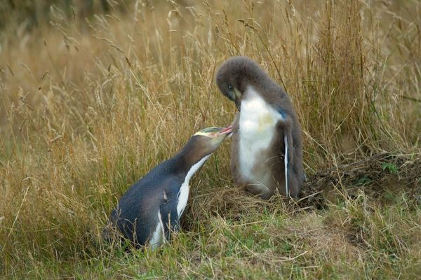 Yellow-eyed Penguin - adult and chick interacting by adult caring for its chick's plumage