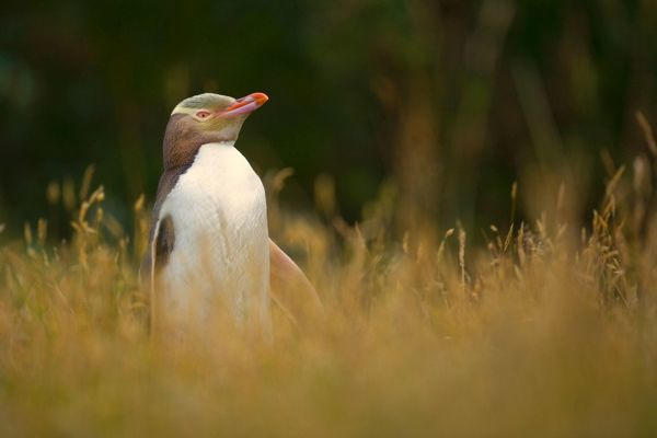 Yellow-eyed Penguin - adult standing amidst coastal vegetation looking out