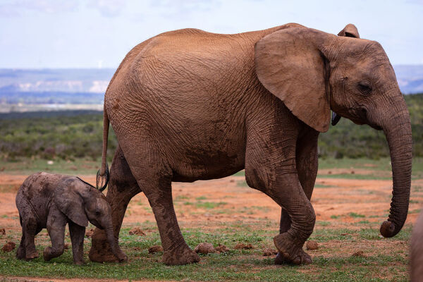 Baby Elephant In Addo Elephant Park South Africa Africa
