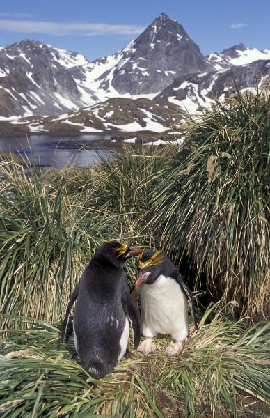 Antactic, South Georgia Island, Cooper Bay, Macaroni penguin couple on tussock grass