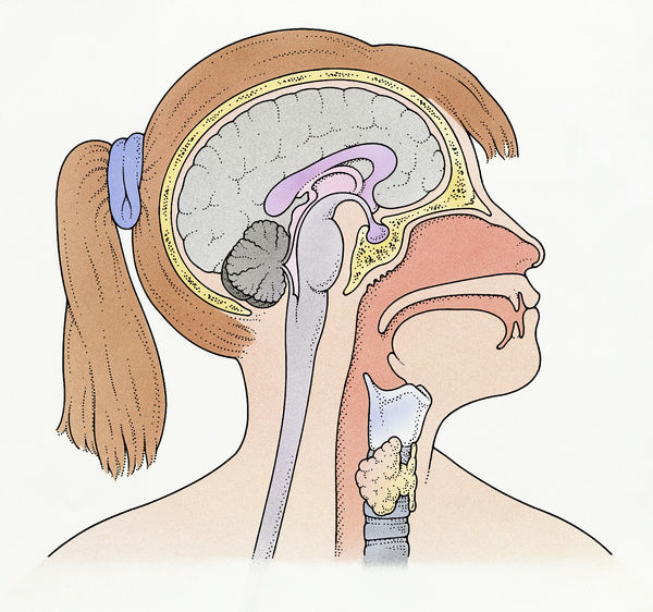 Illustration showing connection of thyroid gland and ...