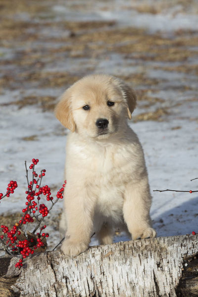Golden retriever puppy, age 9 weeks in early January ...