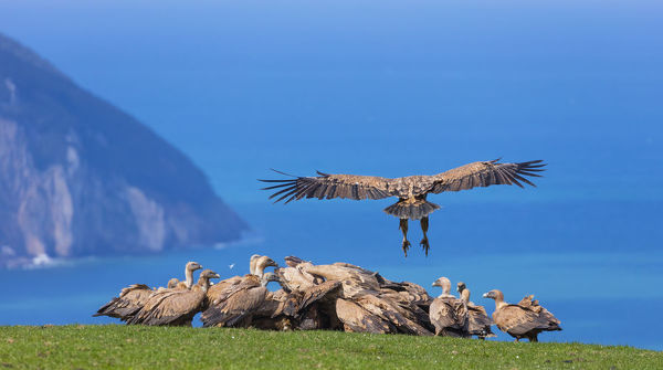 Griffon vulture (Gyps fulvus) landing on coast next to flock. Cantabria, Spain, March