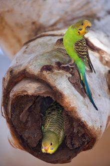 budgerigar adult sitting hollow eucalypt tree