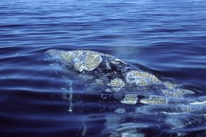 california grey whale close up head area showing