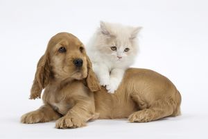 dec2014/6/cat dog british longhair kitten cocker spaniel