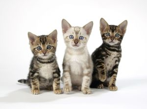 kittens/cat snow marble brown marble blue eyed bengal