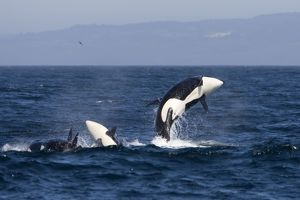 whales dolphins/fg ec 495 killer whales transient type breaching