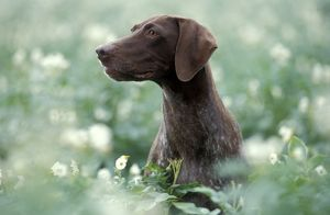 german short haired pointer dog sitting amidst