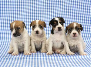 jd 18224 dog jack russell terrier puppies blue