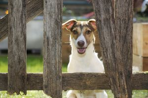 jd 20974 dog jack russell terrier looking garden