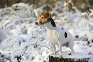 jd 21049 dog jack russell terrier standing snow