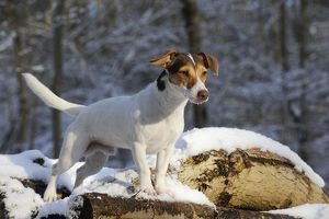 jd 21064 dog jack russell terrier standing snow