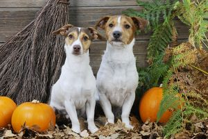 jd 21279 dog jack russell terriers broom pumpkins