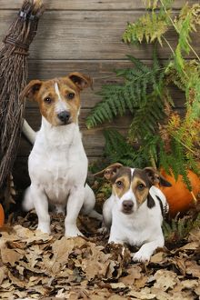 jd 21280 dog jack russell terriers broom pumpkins