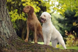 jd 21814 dog lagotto romagnolo hungarian wire haired