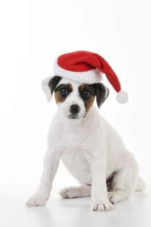 christmas/jd 22189 dog parson jack russell terrier puppy