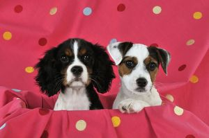jd 22236 dog cavalier king charles spaniel puppy