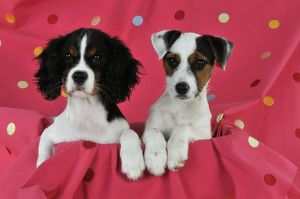 jd 22237 dog cavalier king charles spaniel puppy
