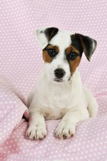 jd 22240 dog parson jack russell terrier puppy