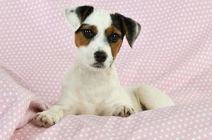 jd 22241 dog parson jack russell terrier puppy