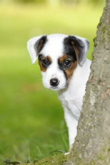 puppies/jd 22296 c dog parson jack russell terrier puppy