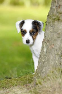 jd 22296 dog parson jack russell terrier puppy