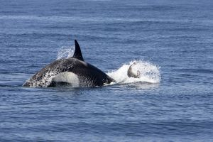 killer whale orca activity attack young northern