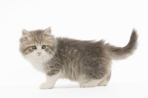 cute/la 5523 cat british longhair 8 week old kitten