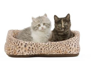 la 5525 cat british longhair shorthair 8