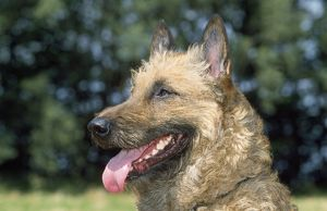 laekenois belgian shepherd dog close up head