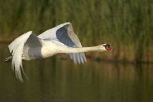 birds/mute swan flight wings produce loud hum flight