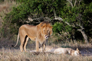 animals/male lion stands female mating maasai mara national
