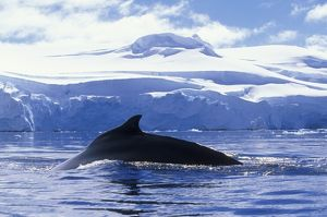 antarctica anvers island humpback whale megaptera