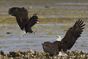 animals/bald eagle fighting
