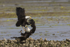 animals/bald eagle pair fighting