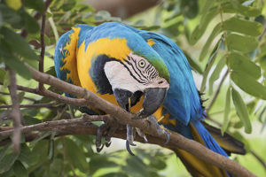 animals/blue gold macaw pruning tree branch