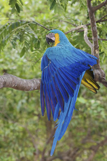 animals/blue gold macaw stretching wing