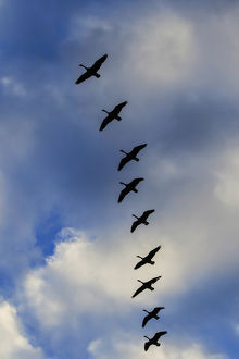 usa/alabama/canada geese silhouetted agains sky clouds branta