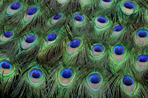 eye spots male peacock tail feathers fanned colorful