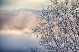 usa north america alaska/frosted alder tree winter