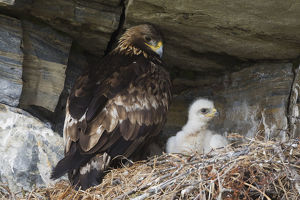 animals/golden eagle chick