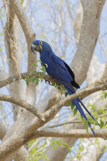animals/hyacinth macaw