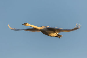 animals/trumpeter swan cygnus buccinator flight riverlands