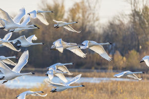 animals/trumpeter swans cygnus buccinator taking off