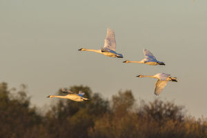 animals/trumpeter swans cygnus buccinator flying riverlands