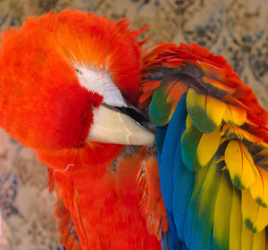 animals/usa arizona goodyear close up macaw preening