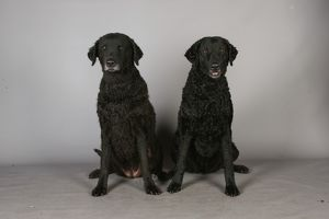 crufts 2013 curly coated retriever gundog portrait